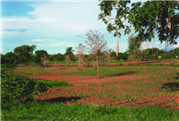 Faidherbia - young trees with maize crop