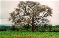 Faidherbia tree with maize crop
