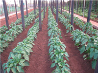 Greenhouse-Green peppers under irrigation