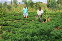 Groundnuts-smallholder production