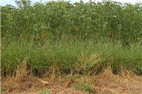 Improved Tephrosia fallow & Vetiver Hedges